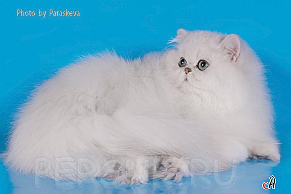 Персы это чисто домашние кошки